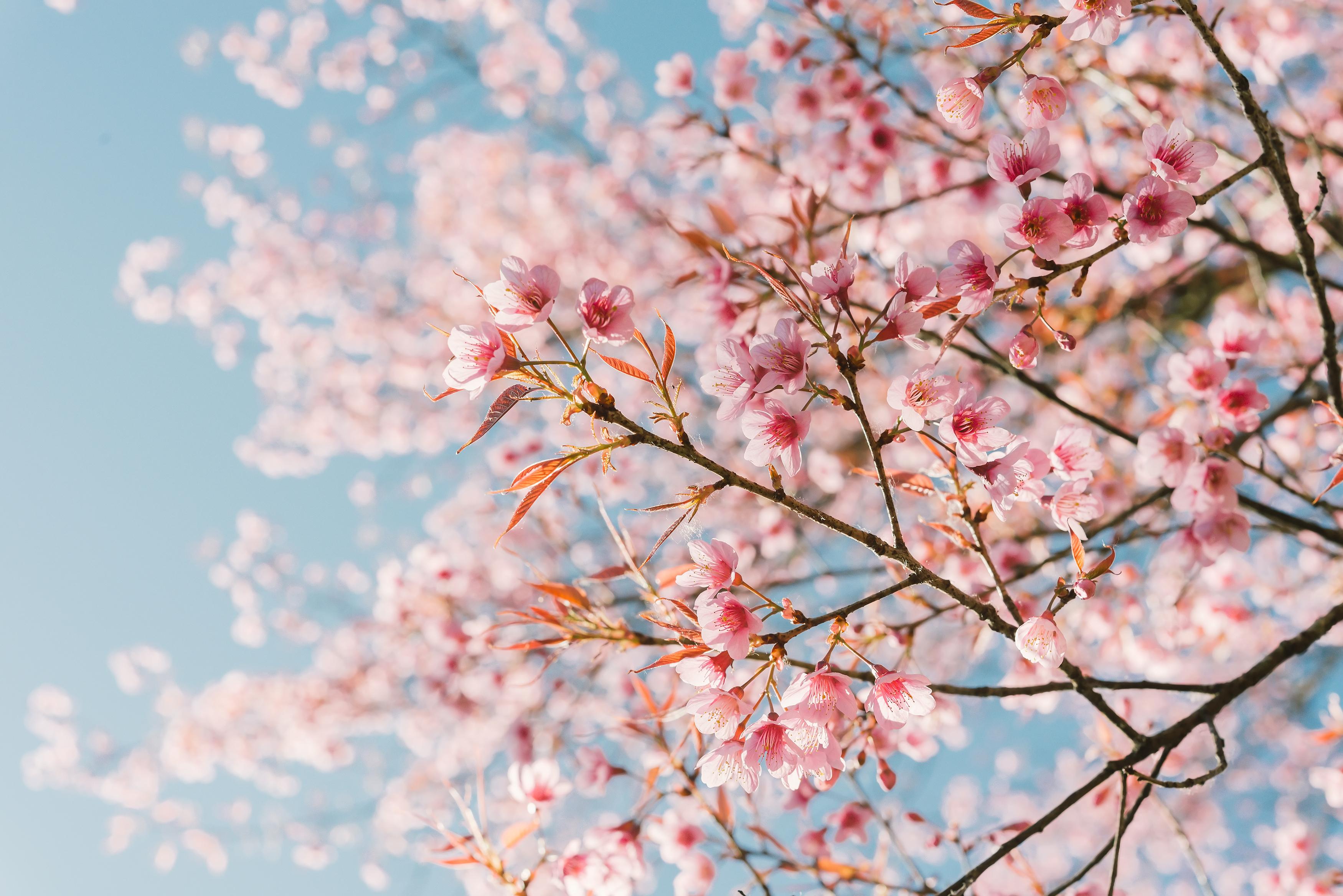rosa-flor-del-cerezojpg