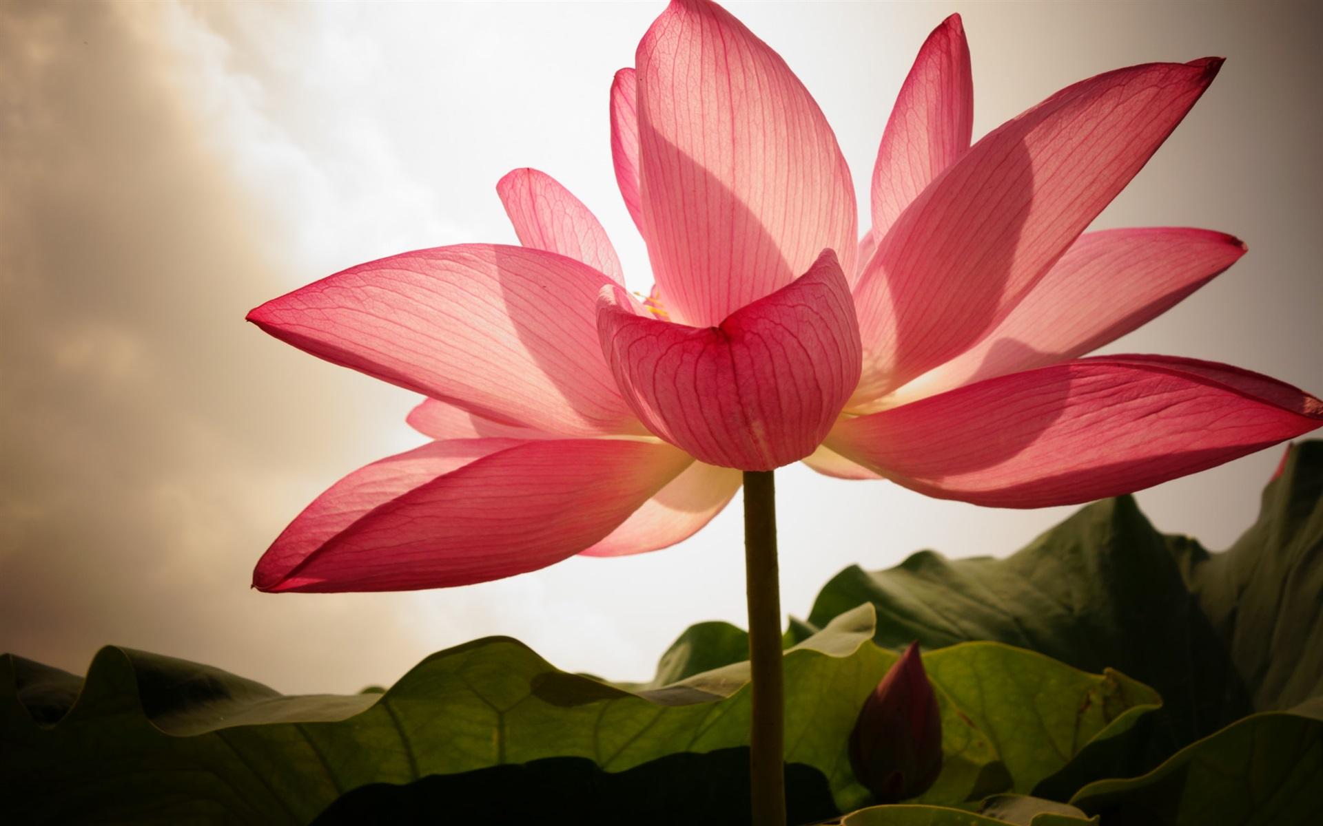 Pink-lotus-petals-backlight_1920x1200jpg